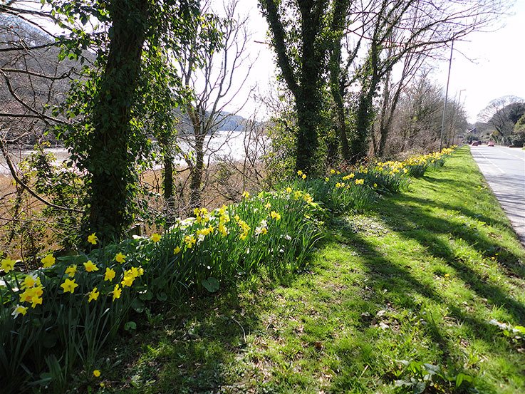 tresillian-daffodils