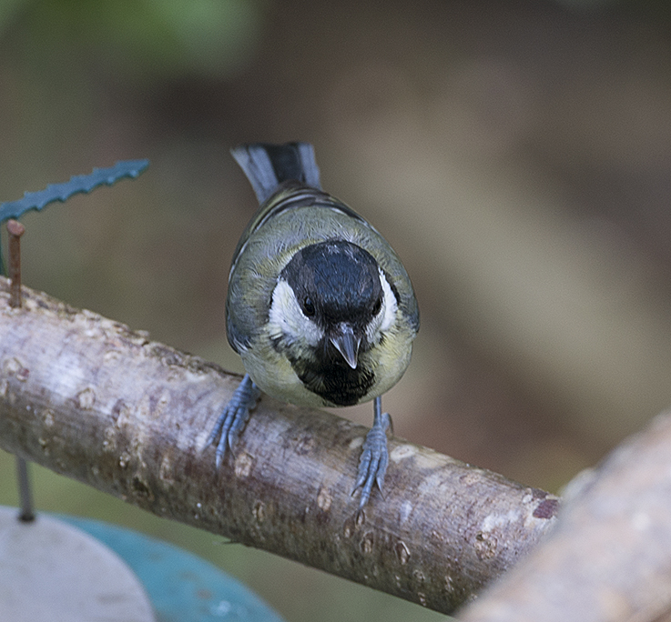 Great tit, adult