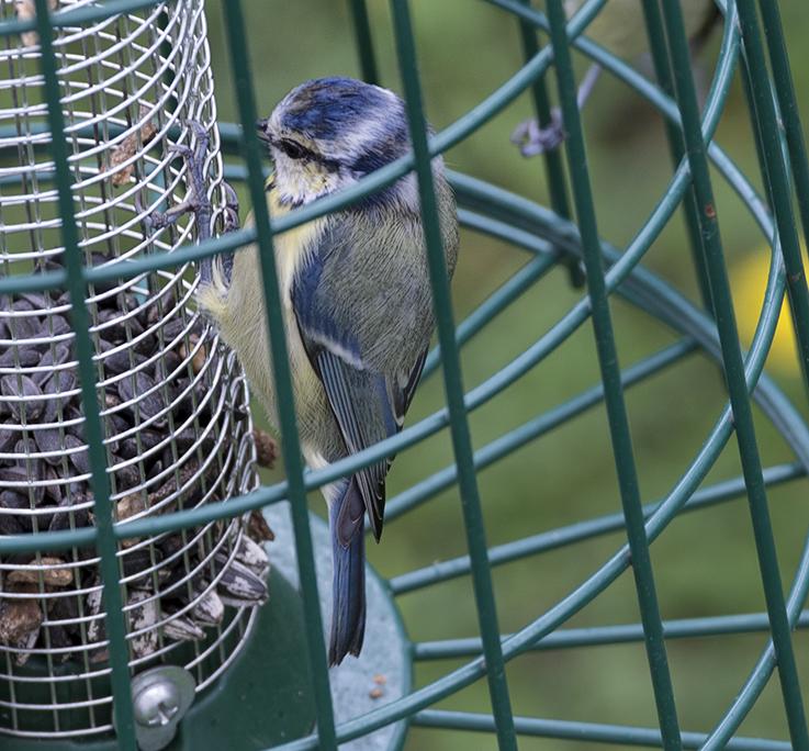Blue tit, female
