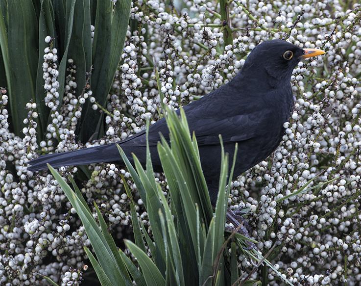 Blackbird in cordyline seeds