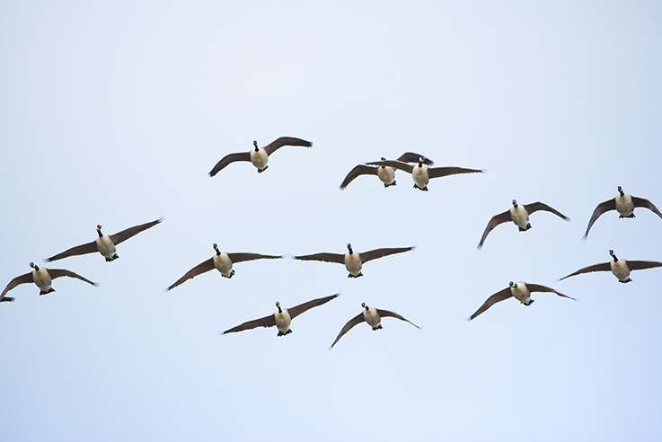 Canada Geese flying over Tresemple Pond
