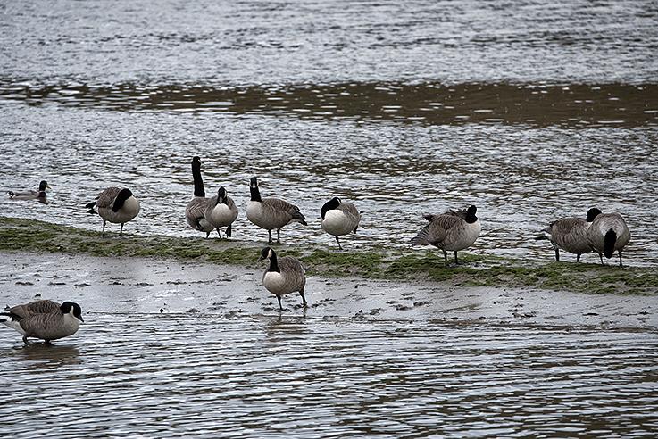 Canada geese on mudbank Tresillian River