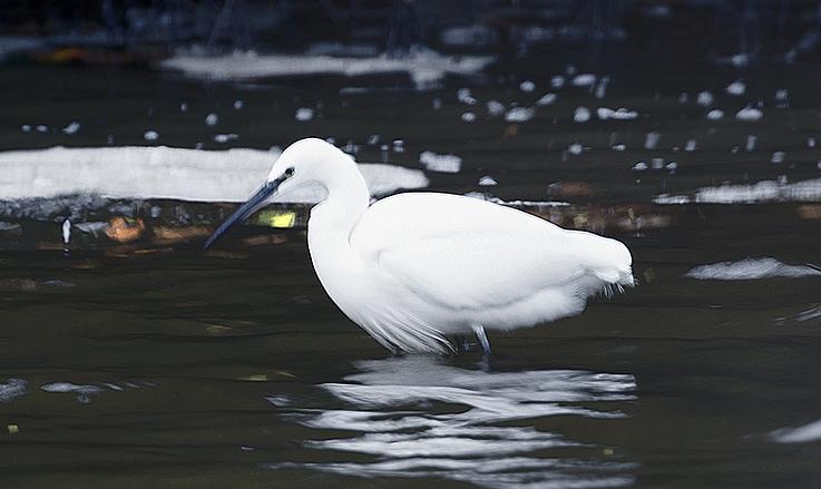 Egret at dusk Tresemple Pond