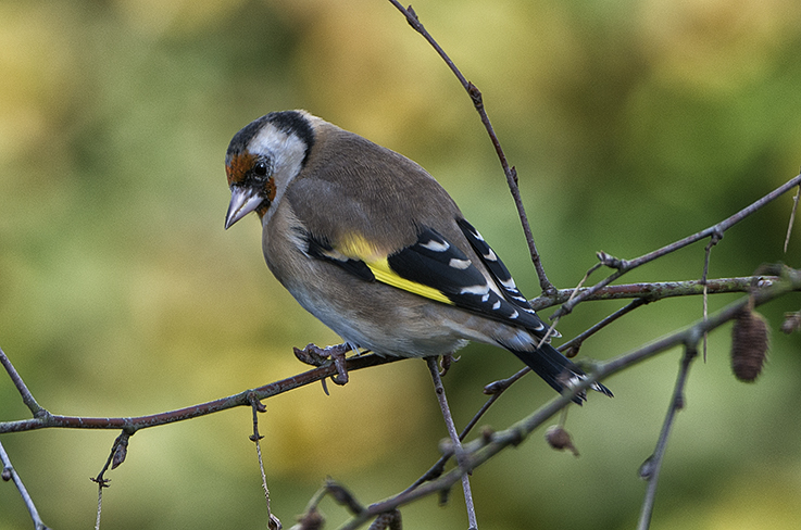 Adult Goldfinch