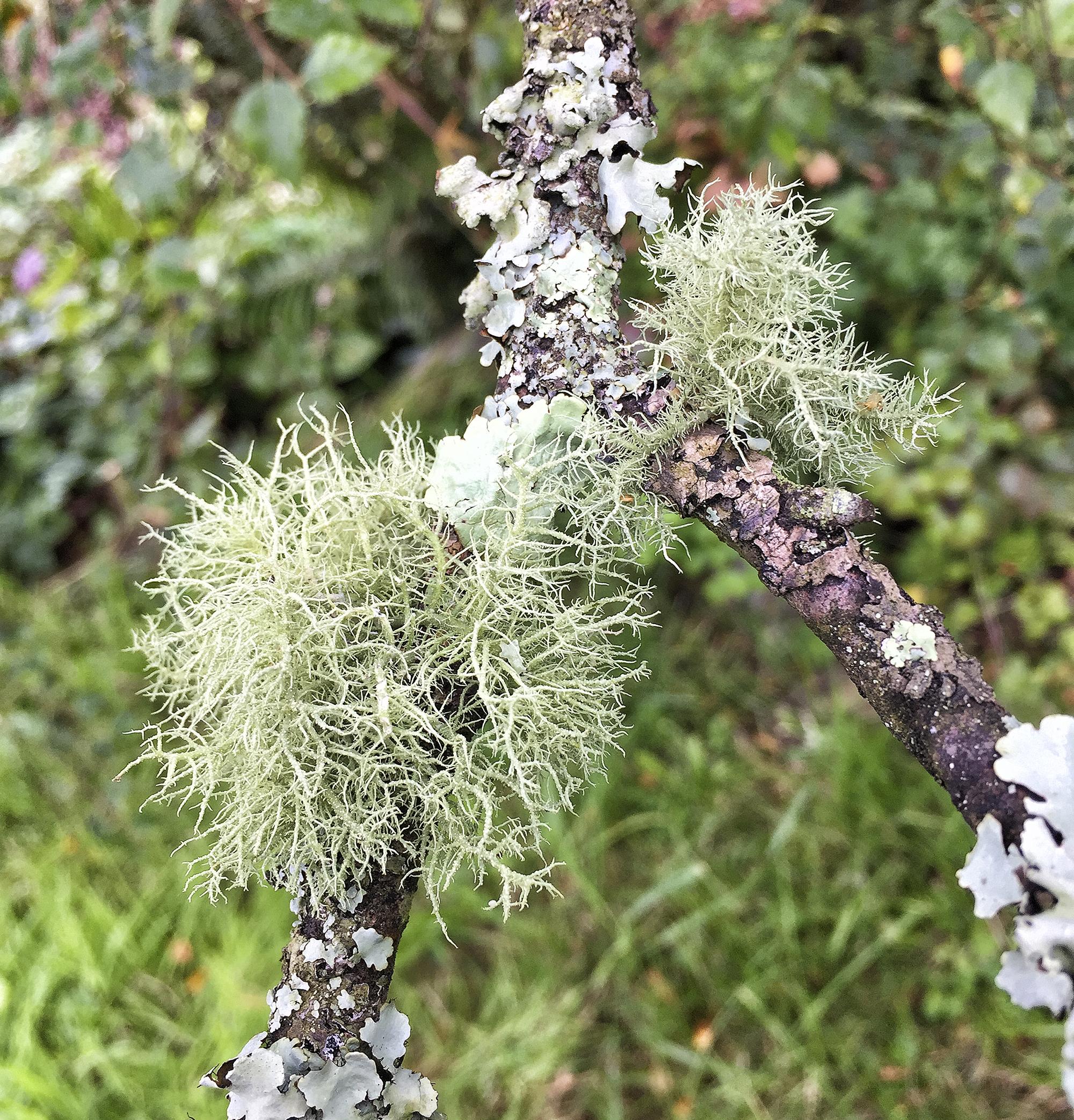 Hairy lichen and flat lichen