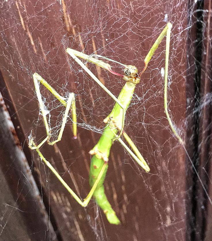 Stick insect caught in cobweb